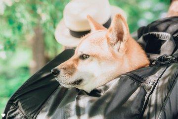 柴犬日向2歳誕生日記念